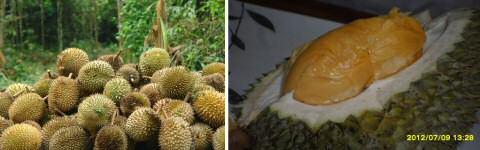 Durian fruit uit het regenwoud van Maleisie