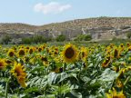 Spaanse zonnebloemen